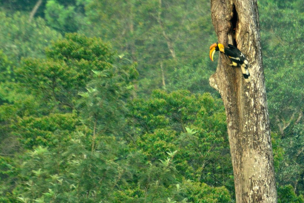 valparai birds great indian hornbill