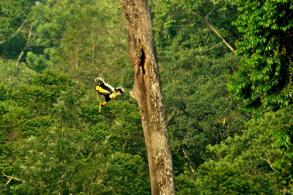 Valparai, great indian hornbill