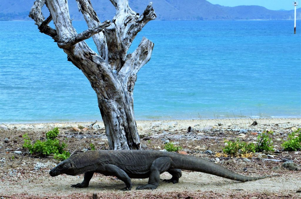 Komodo dragon, komodo island, Komodo national park